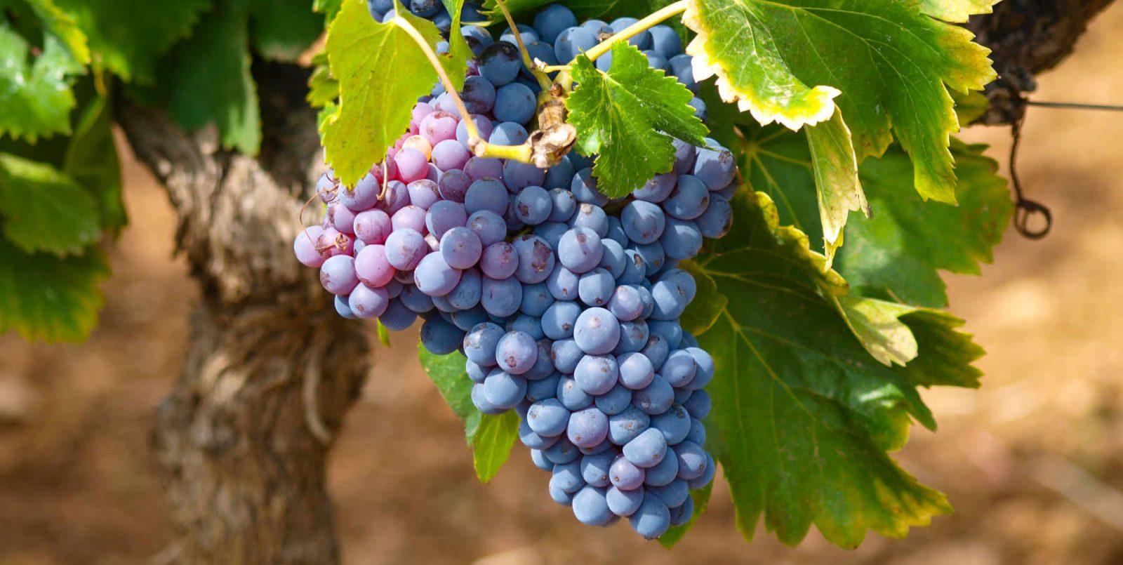 Vendemmia 2020: importatori già in cerca vino italiano